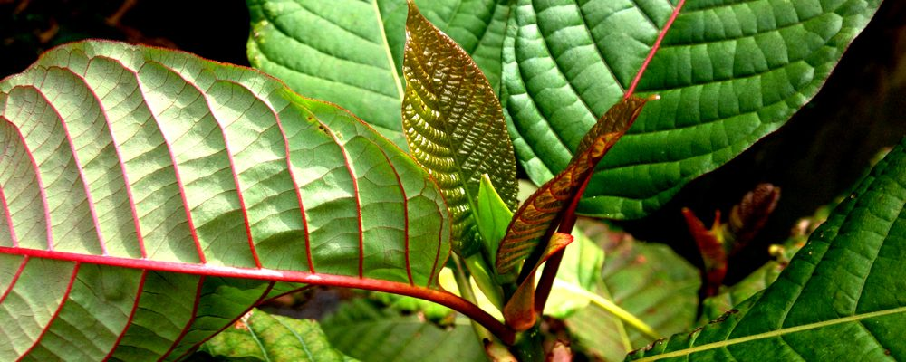 Kratom for Ailments